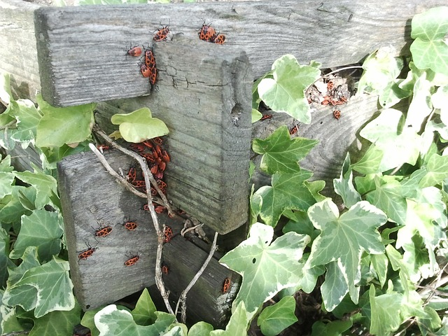 ivy, beetle, red, compost, grave digger, pets, insect