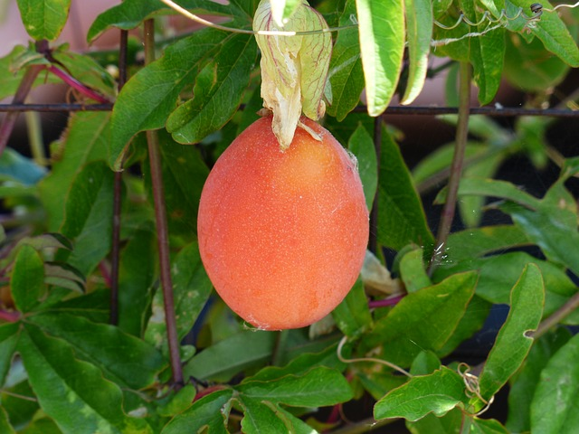 japanese wollmispel, fruit, orange red