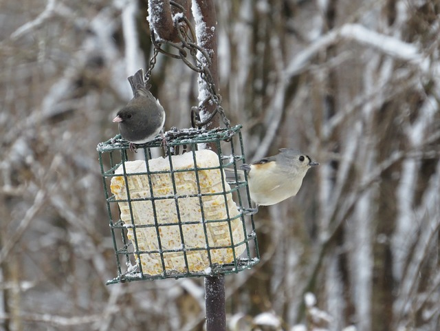 junco, tufted titmouse, bird, backyard birds