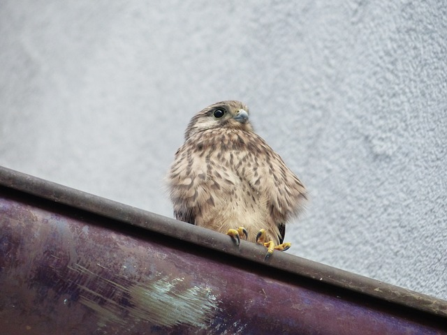 kestrel, falcon, young animal, falco tinnunculus