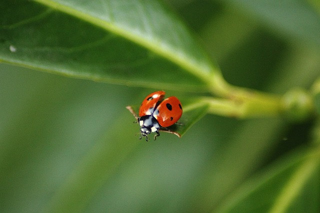 ladybug, coccinellidae, beetle, insect, red, points