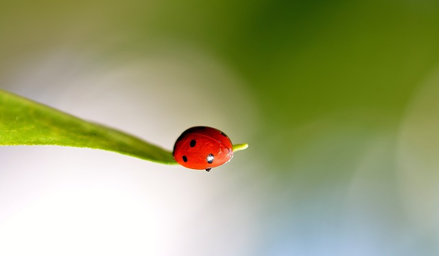 ladybug, spring, ladybugs, red, lady, bug, insects