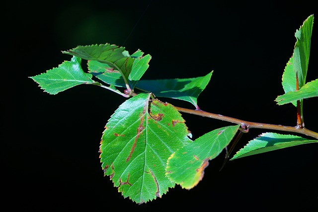 leaves, black background, branch, tree, apple tree