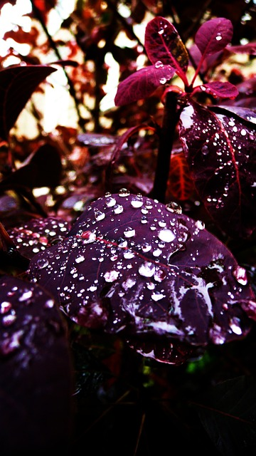 leaves, drops, water, red, rain