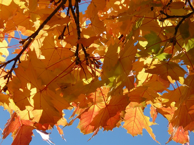 leaves, farbenspiel, yellow, orange, red, maple leaves