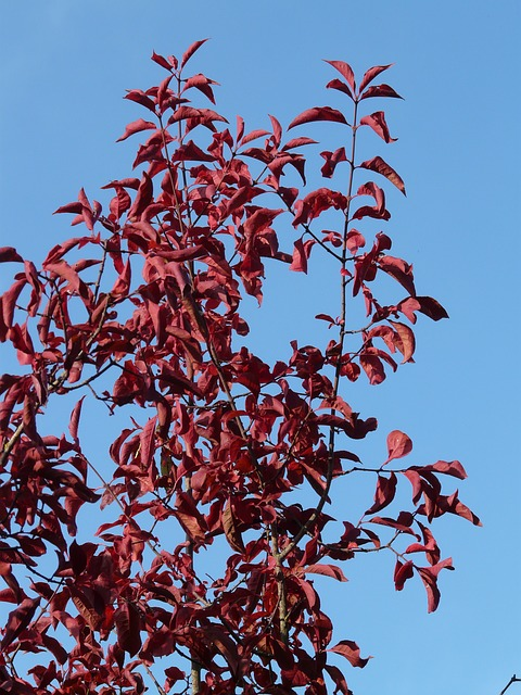 leaves, red, red leaves, coloring, autumn