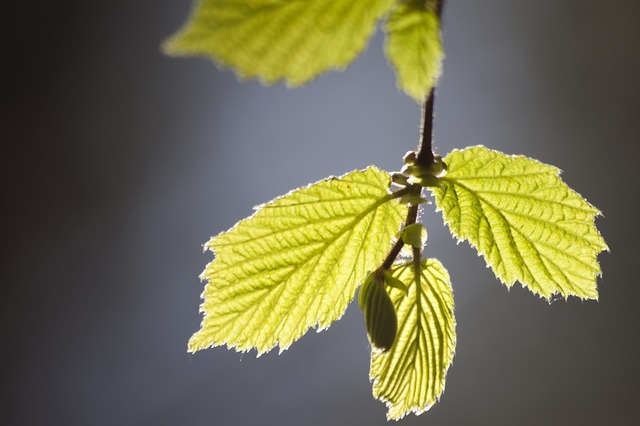 leaves, young, shoots, frisch, spring, lenz, one