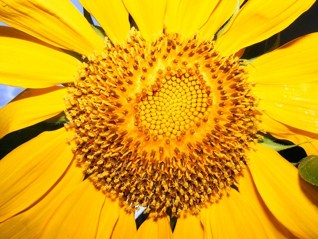 lehigh acres, florida, sunflower, sunflowers, flowers