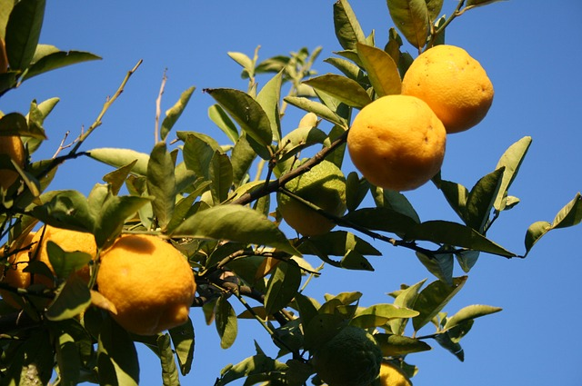 lemons, fruit, citrus, rounded, fresh, yellow, branch