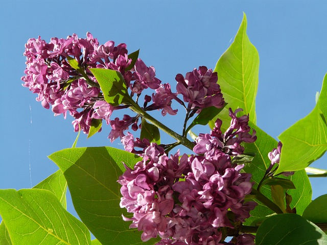 lilac, common lilac, ornamental shrub, bush, plant