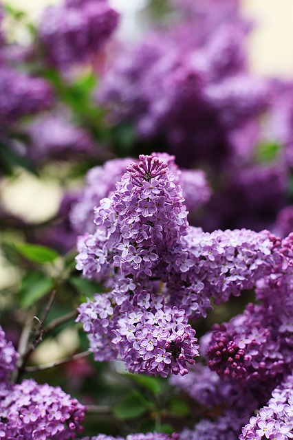lilac, spring, may, purple, violet, plant, tree, branch