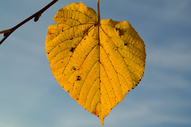 lime leaf, autumn, yellow, leaf coloring, leaf veins