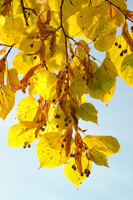 linde, seeds, flying seeds, tree, autumn, fall color