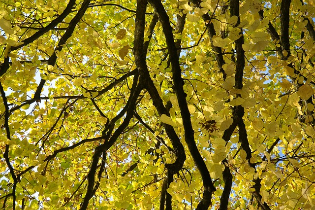 linde, tree, autumn, fall color, leaves, yellow