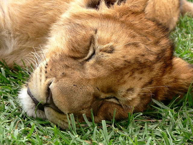 lion, cub, sleeping, dozing, eyes shut, wild, wildlife