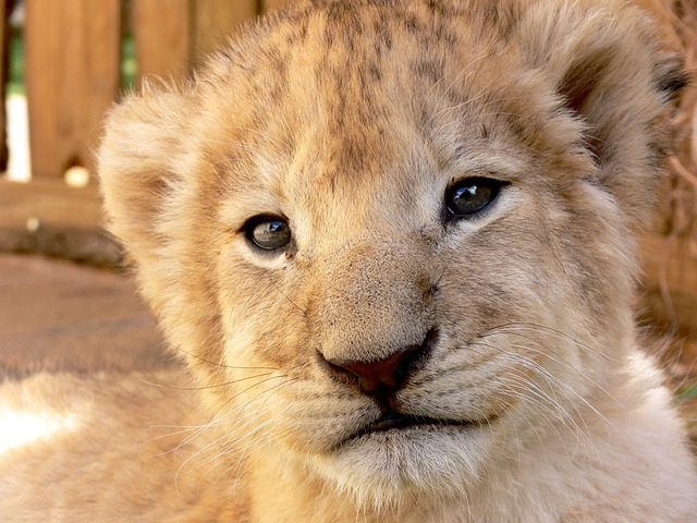 lion, cub, young, gaze, look, animal, sweet, cute, baby