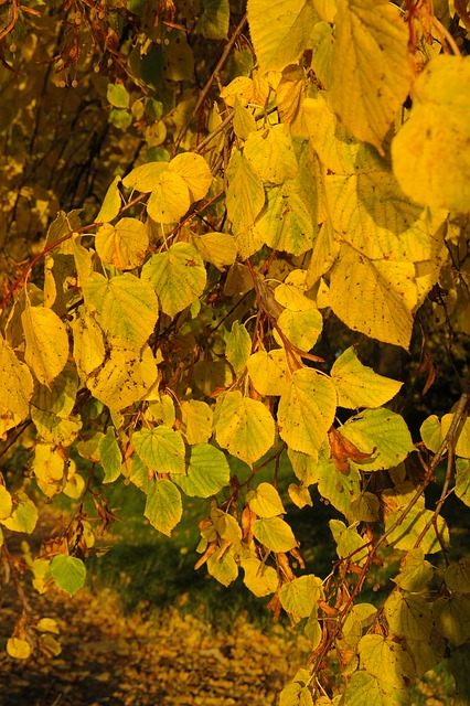 lipovina, lime, tree, foliage, autumn, yellow