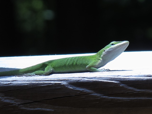 lizard, nature, animal, reptile, green, creature