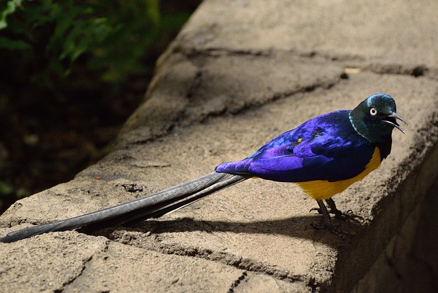 long tailed glossy starling, starling, bird, exotic