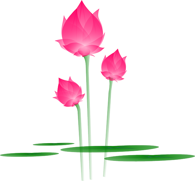 lotus, flower, blossom, bloom, water lily, lily, pink