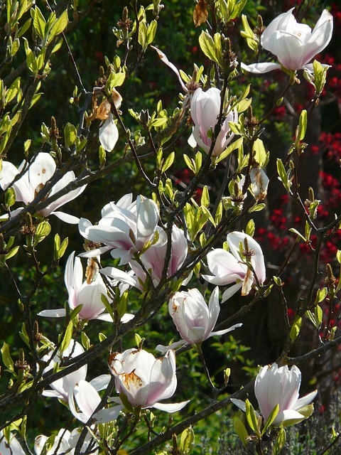 magnolia, tulip magnolia, tree, bush, flowers, bloom