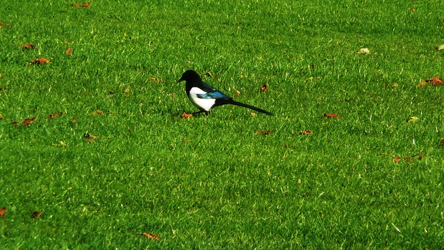 magpie, grass, park, bird, feathers, black, white