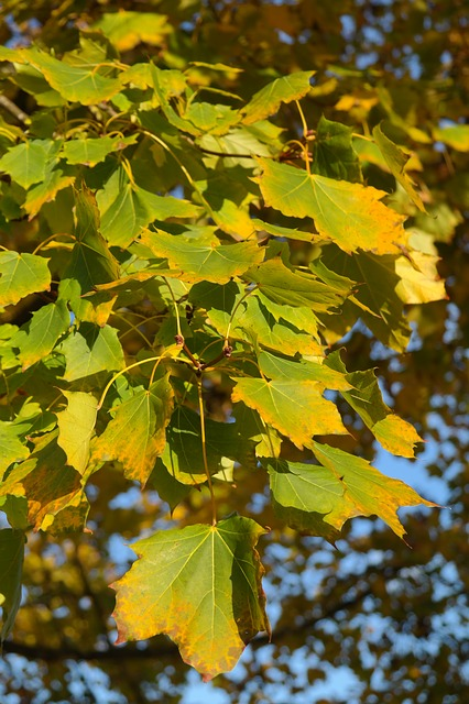 maple, acer platanoides, needle leaf maple