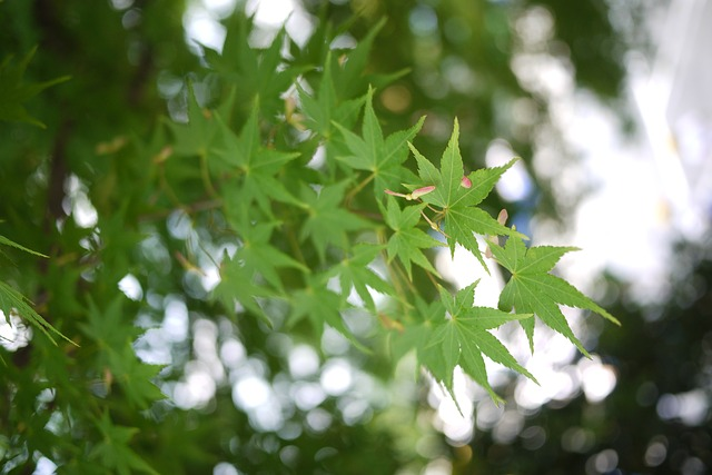 maple, green, leaf, macro, nature, plant, background