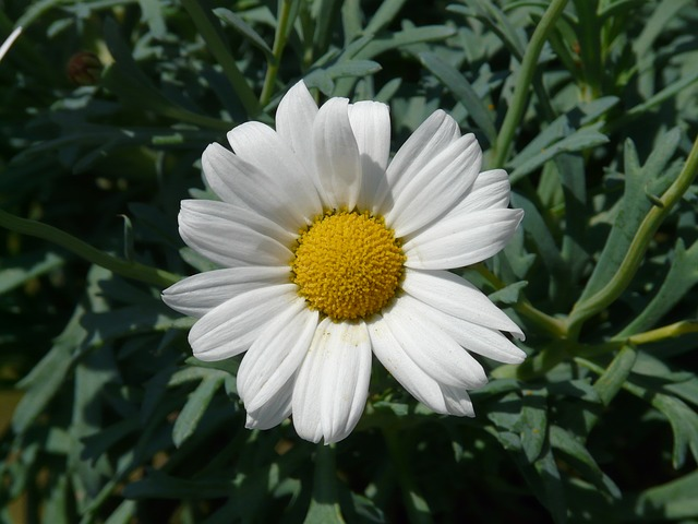 marguerite, tree daisy, argyranthemum frutescens