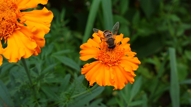 marigold, bee, insect, plant, plants, flower, flowers