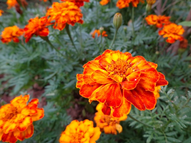 marigold, flower, orange, baguio flowers, flowers