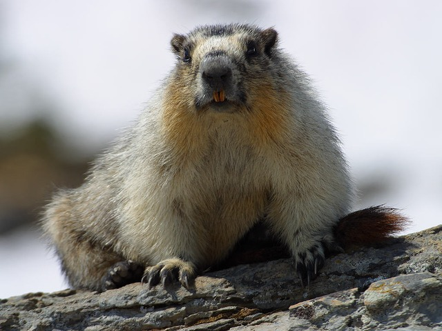 marmot, nager, rodent, cute, fur, furry, mammal, nature