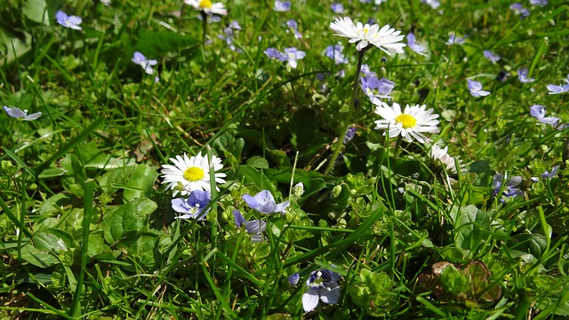 meadow, daisy, garden, plant, white, pointed flower