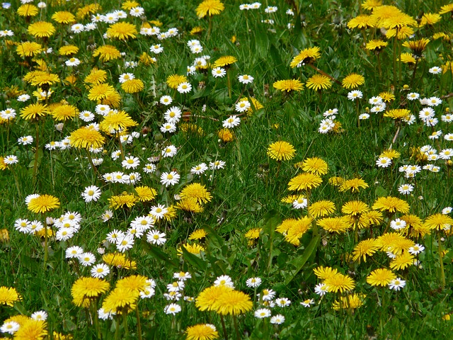 meadow, flowers, dandelion, daisy, spring, bloom, enjoy