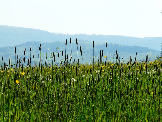 meadow, grass, pointed flower, nature, idyll, grasses