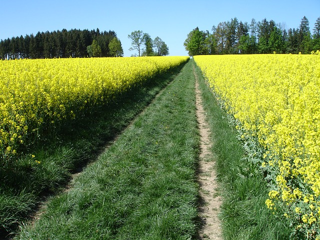 meadow, rapeseed, rapsfeld, nature, landscape, away