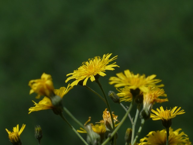 meadows dubius, tragopogon pratensis, flower, yellow