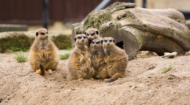 meerkat, meerkats, family, group, odd, one, huddled