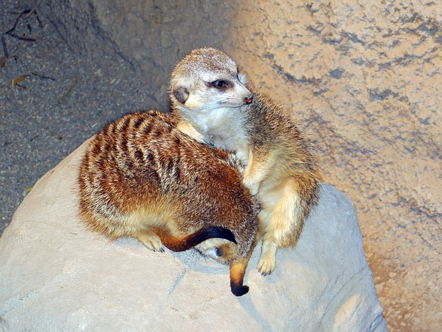 meerkats, live groups, southern, africa, animals