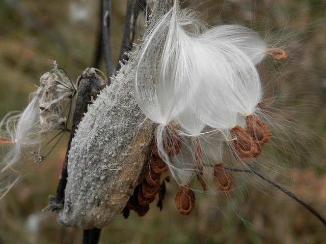 milkweed, pod, milkweeds, silky, white, plants, growing