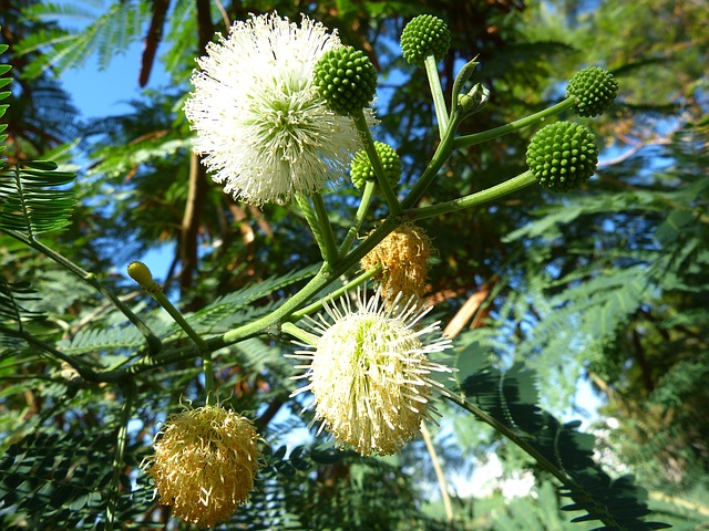 mimosa, flower, tree, plant, white, green