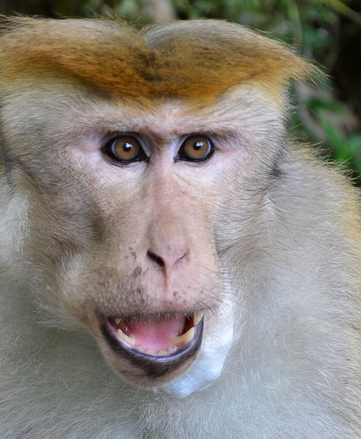 monkey, monkey face, face, animal, anger, sri lanka