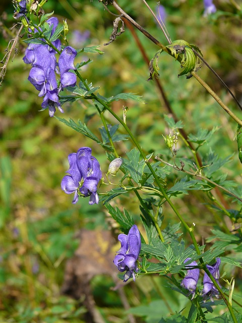 monkshood, plant, poisonous plant, flower, blue