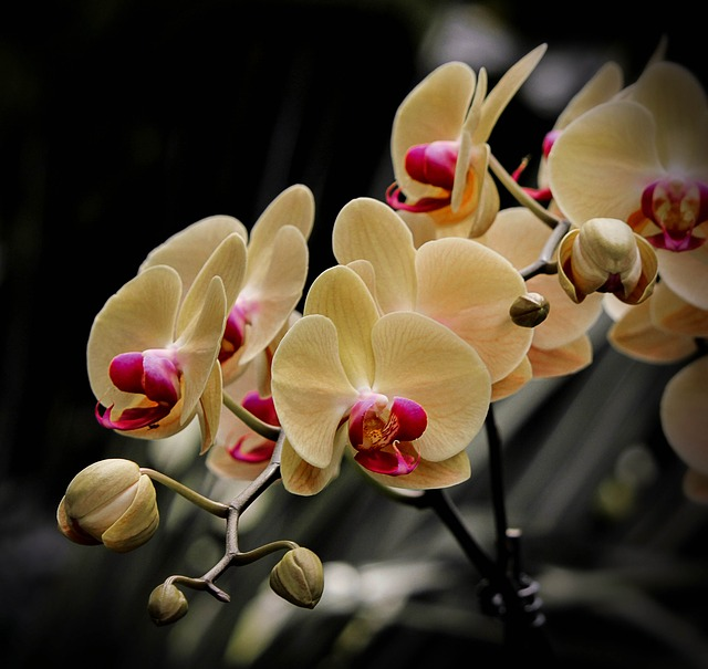 moth orchid, phalaenopsis, flowers, yellow, cream, buds