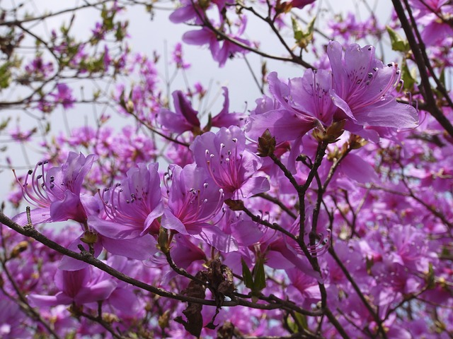 mount azalea, flowers, purple