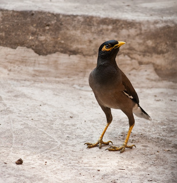 myna, mynah, bird, starling family, sturnidae