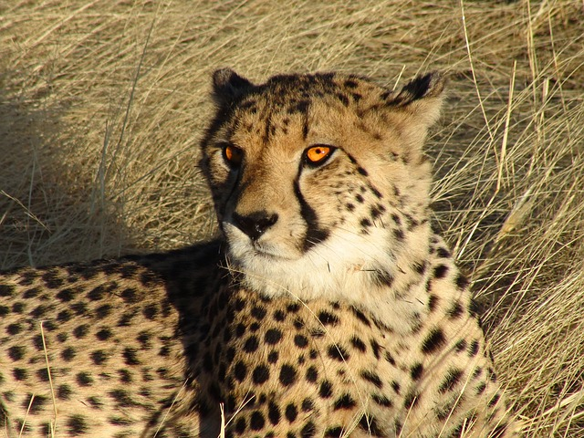 namibia, cheetah, feline, wildlife, nature, outside