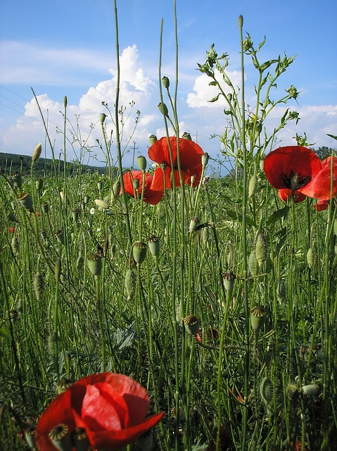 nature, flowers, and, gardens, red, poppy