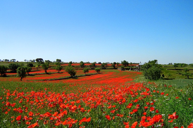 nature, flowers, field, trees, green, red, landscape