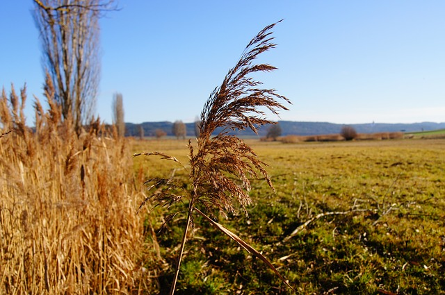 nature, reed, marsh plant, grass, plant, autumn, meadow